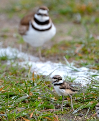 Killdeer Plover Chick Good Harbor Beach Gloucester MA -25 copyright Kim Smith