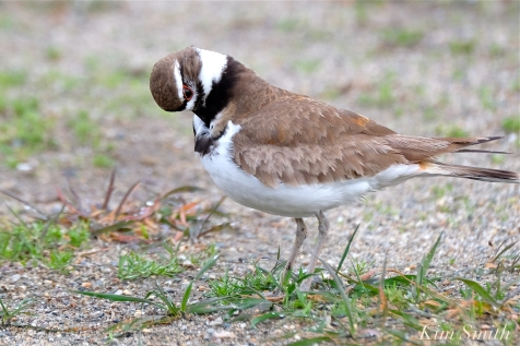 Killdeer Plover Chick Good Harbor Beach Gloucester MA -30 copyright Kim Smith