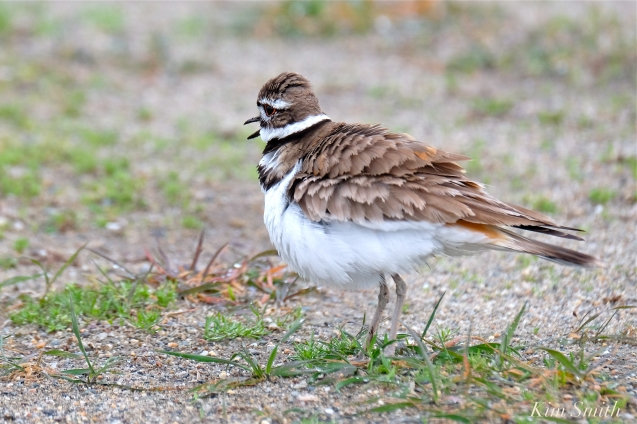 Killdeer Plover Chick Good Harbor Beach Gloucester MA -31 copyright Kim Smith