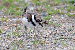 Killdeer Plover Chick Good Harbor Beach Gloucester MA -35 copyright Kim Smith
