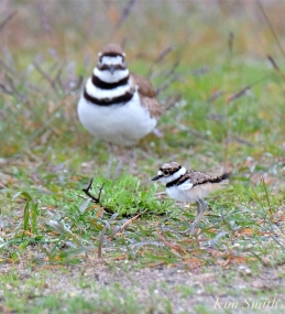 Killdeer Plover Chick Good Harbor Beach Gloucester MA -36 copyright Kim Smith