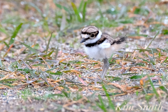 Killdeer Plover Chick Good Harbor Beach Gloucester MA -37 copyright Kim Smith