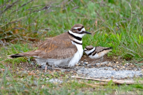 Killdeer Plover Chick Good Harbor Beach Gloucester MA -46 copyright Kim Smith