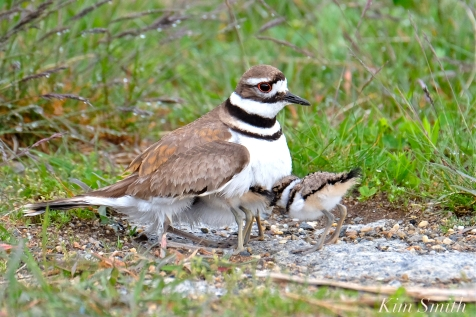 Killdeer Plover Chick Good Harbor Beach Gloucester MA -48 copyright Kim Smith