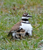 Killdeer Plover Chicks Thermoregulating Good Harbor Beach Gloucester MA copyright Kim Smith