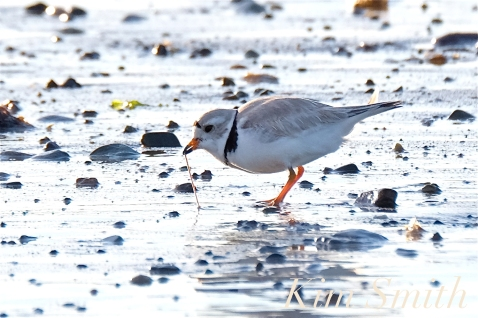 Piping Plover Eating a Seaworm Winthrop Beach MA copyright Kim Smith