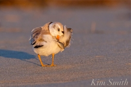Piping Plover Male Good Harbor Beach Gloucester copyright Kim Smith