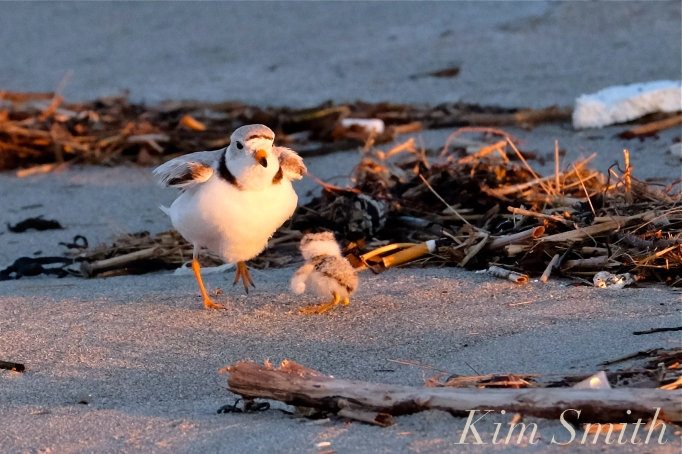Piping Plover Seven Day Old Chcik Adult male copyright Kim Smith