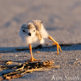 Piping Plover Seven Day Old Chick copyright Kim Smith jpg