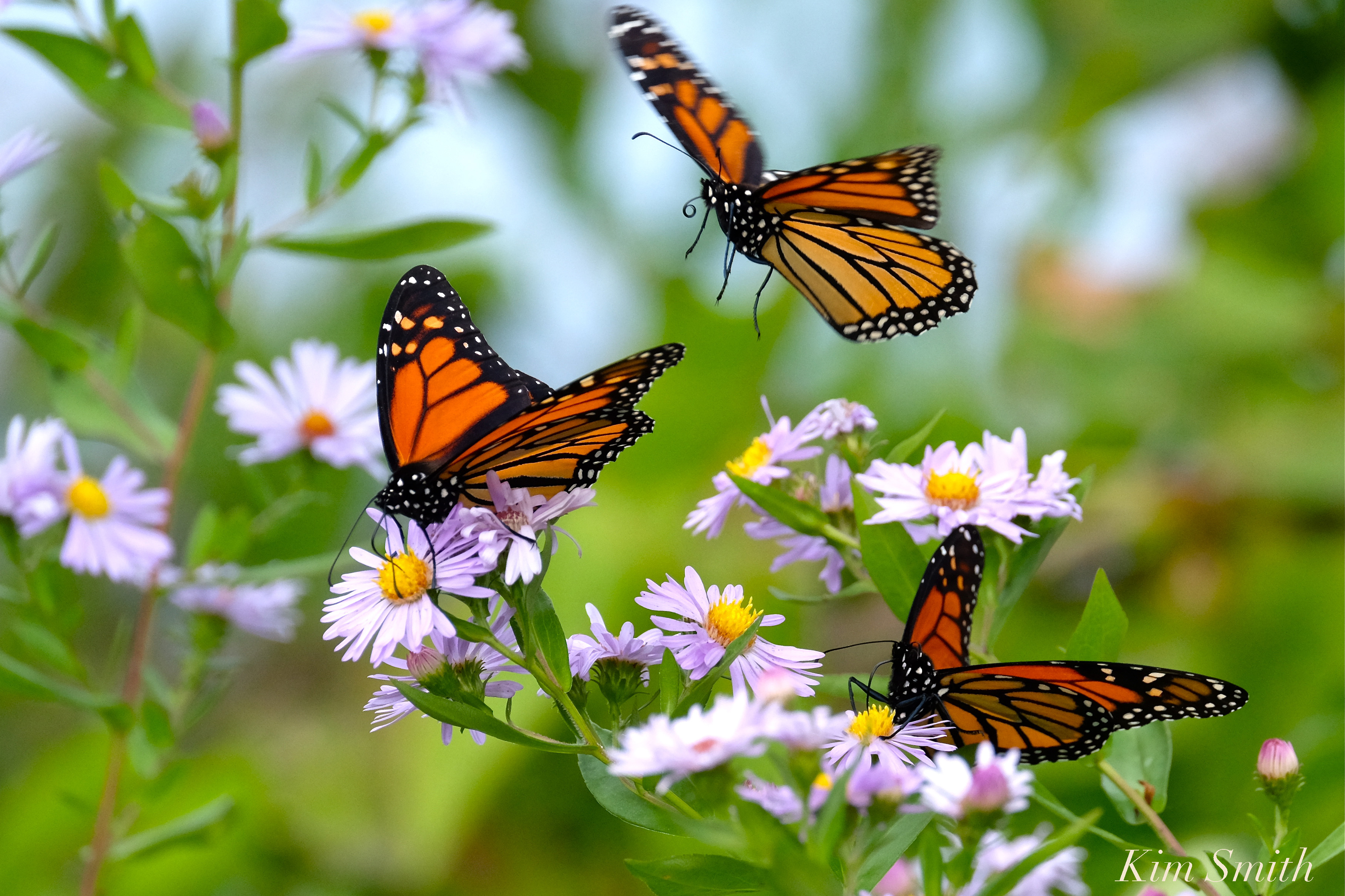 Monarchs And Native New England Wildflower Smooth Aster