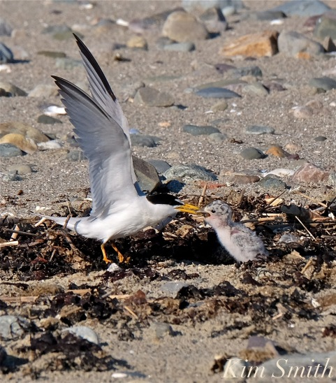 Least Tern One Week Old Chick -2 copyright Kim Smith