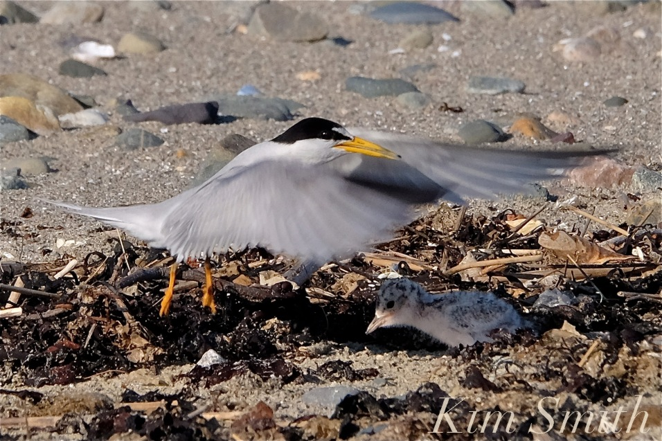 Least Tern One Week Old Chick copyright Kim Smith
