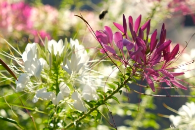 Mary Prentiss Inn Urban Pollinator Garden Cambridge MA -10 copyright Kim Smith
