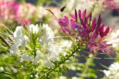 Mary Prentiss Inn Urban Pollinator Garden Cambridge MA -10 copyright Kim Smith