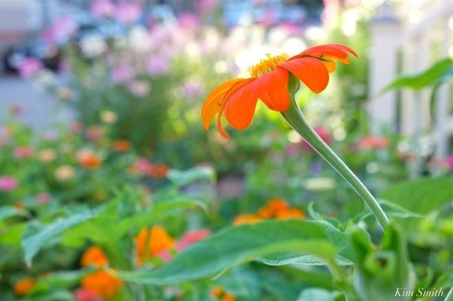 Mary Prentiss Inn Urban Pollinator Garden Cambridge MA -11 copyright Kim Smith