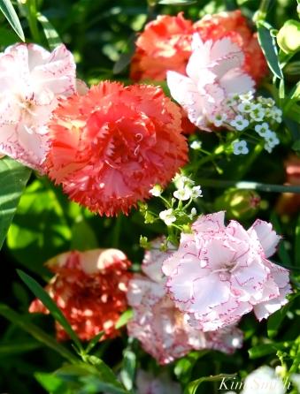 Mary Prentiss Inn Urban Pollinator Garden Cambridge MA -12 copyright Kim Smith