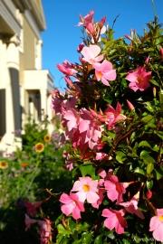 Mary Prentiss Inn Urban Pollinator Garden Cambridge MA -13 copyright Kim Smith
