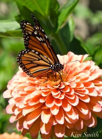 Mary Prentiss Inn Urban Pollinator Garden Cambridge MA -17 copyright Kim Smith
