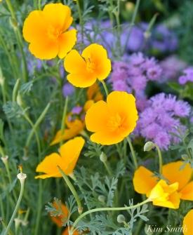 Mary Prentiss Inn Urban Pollinator Garden Cambridge MA -18 copyright Kim Smith
