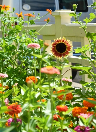 Mary Prentiss Inn Urban Pollinator Garden Cambridge MA -23 copyright Kim Smith