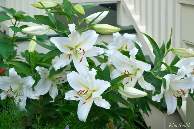 Mary Prentiss Inn Urban Pollinator Garden Cambridge MA -24 copyright Kim Smith