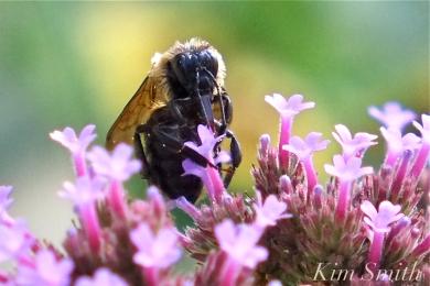 Mary Prentiss Inn Urban Pollinator Garden Cambridge MA -27 copyright Kim Smith