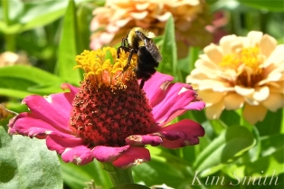 Mary Prentiss Inn Urban Pollinator Garden Cambridge MA -29 copyright Kim Smith