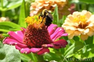 Mary Prentiss Inn Urban Pollinator Garden Cambridge MA -29 copyright Kim Smith