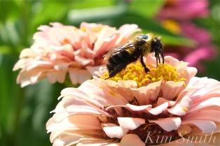 Mary Prentiss Inn Urban Pollinator Garden Cambridge MA -30 copyright Kim Smith