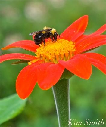 Mary Prentiss Inn Urban Pollinator Garden Cambridge MA -33 copyright Kim Smith