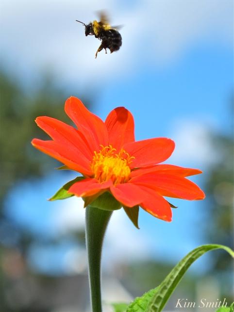 Mary Prentiss Inn Urban Pollinator Garden Cambridge MA -35 copyright Kim Smith