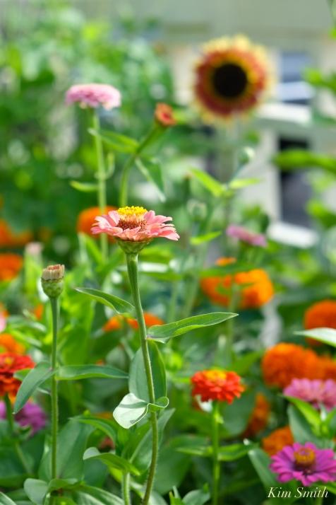 Mary Prentiss Inn Urban Pollinator Garden Cambridge MA -37 copyright Kim Smith