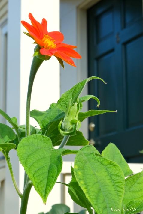 Mary Prentiss Inn Urban Pollinator Garden Cambridge MA -38 copyright Kim Smith