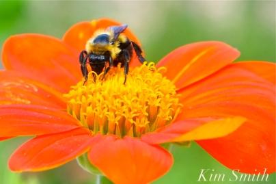 Mary Prentiss Inn Urban Pollinator Garden Cambridge MA -39 copyright Kim Smith