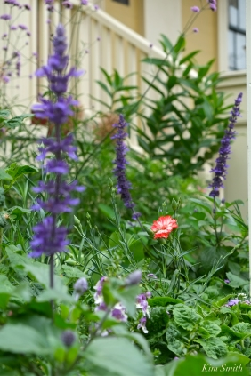 Mary Prentiss Inn Urban Pollinator Garden Cambridge MA -4 copyright Kim Smith