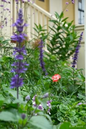 Mary Prentiss Inn Urban Pollinator Garden Cambridge MA -4 copyright Kim Smith