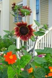 Mary Prentiss Inn Urban Pollinator Garden Cambridge MA -40 copyright Kim Smith jpg