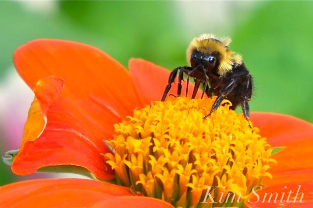 Mary Prentiss Inn Urban Pollinator Garden Cambridge MA -41 copyright Kim Smith