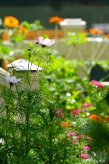 Mary Prentiss Inn Urban Pollinator Garden Cambridge MA - 46copyright Kim Smithy