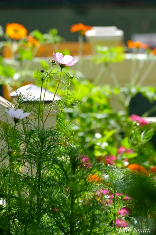 Mary Prentiss Inn Urban Pollinator Garden Cambridge MA - 46copyright Kim Smithy