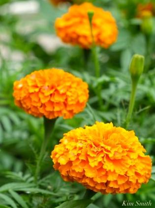 Mary Prentiss Inn Urban Pollinator Garden Cambridge MA -6 copyright Kim Smith
