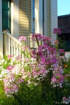 Mary Prentiss Inn Urban Pollinator Garden Cambridge MA -8 copyright Kim Smith