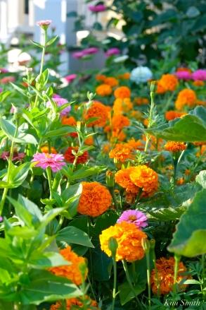 Mary Prentiss Inn Urban Pollinator Garden Cambridge MA -9 copyright Kim Smith