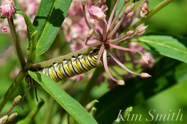 Monarch Caterpillar Marsh Milkweed Aclepias incarnata -2 copyright Kim Smith