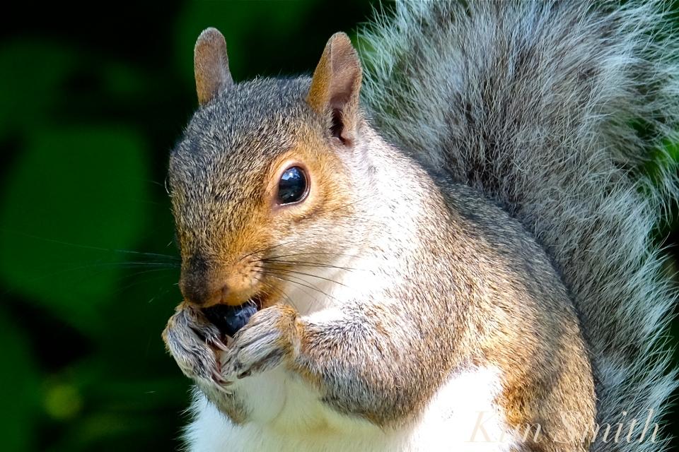 Eastern Gray Squirrel   Kim Smith Designs