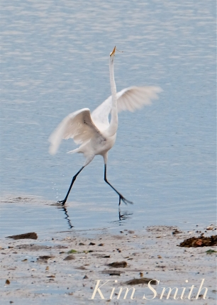 Great Egrets Fishing Gloucester MA -2 copyright Kim Smith