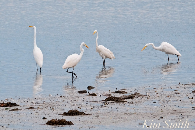 Great Egrets Fishing Gloucester MA copyright Kim Smith