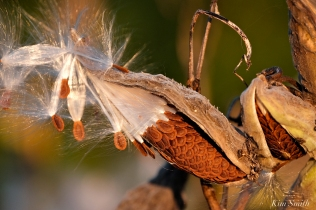 Milkweed Pod copyright Kim Smith