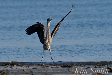 Grand Heron of the Great Marsh - Great Blue Heron copyright Kim Smith - 01