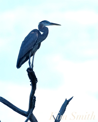 Grand Heron of the Great Marsh - Great Blue Heron copyright Kim Smith - 11 copy